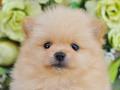 犬種:ポメラニアン性別:男の子お問合せ番号:536