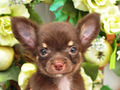 犬種:チワワ性別:男の子お問合せ番号:559