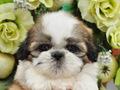 犬種:シーズー性別:男の子お問合せ番号:561