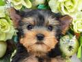 犬種:ヨークシャテリア性別:男の子お問合せ番号:570
