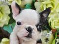 犬種:ボストンテリア性別:男の子お問合せ番号:569