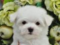 犬種:マルチーズ性別:男の子お問合せ番号:571
