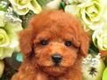 犬種:トイプードル性別:男の子お問合せ番号:574