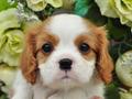 犬種:キャバリアキングチャールズスパニエル性別:男の子お問合せ番号:577