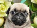 犬種:パグ性別:女の子お問合せ番号:584