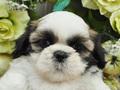 犬種:シーズー性別:女の子お問合せ番号:585