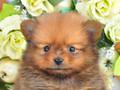 犬種:ポメラニアン性別:男の子お問合せ番号:588