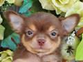 犬種:チワワ性別:男の子お問合せ番号:592