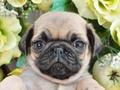犬種:パグ性別:男の子お問合せ番号:589