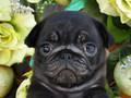 犬種:パグ性別:男の子お問合せ番号:591