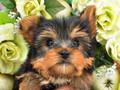 犬種:ヨークシャテリア性別:女の子お問合せ番号:595