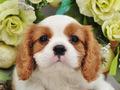 犬種:キャバリアキングチャールズスパニエル性別:男の子お問合せ番号:594
