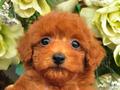 犬種:トイプードル性別:女の子お問合せ番号:598