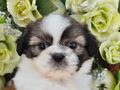 犬種:シーズー性別:女の子お問合せ番号:613