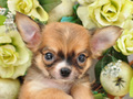 犬種:チワワ性別:男の子お問合せ番号:614