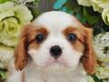 犬種:キャバリアキングチャールズスパニエル性別:男の子お問合せ番号:623