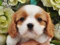 犬種:キャバリアキングチャールズスパニエル性別:女の子お問合せ番号:624
