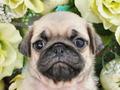 犬種:パグ性別:女の子お問合せ番号:627