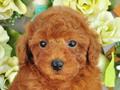 犬種:トイプードル性別:女の子お問合せ番号:628