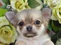 犬種:チワワ性別:女の子お問合せ番号:630