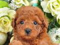 犬種:トイプードル性別:女の子お問合せ番号:631