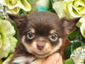 犬種:チワワ性別:女の子お問合せ番号:643