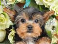 犬種:ヨークシャテリア性別:女の子お問合せ番号:649