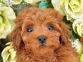 犬種:トイプードル性別:女の子お問合せ番号:658