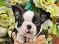 犬種:ボストンテリア性別:男の子お問合せ番号:660
