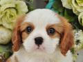 犬種:キャバリアキングチャールズスパニエル性別:男の子お問合せ番号:665